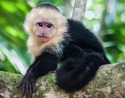 White Headed Capuchin